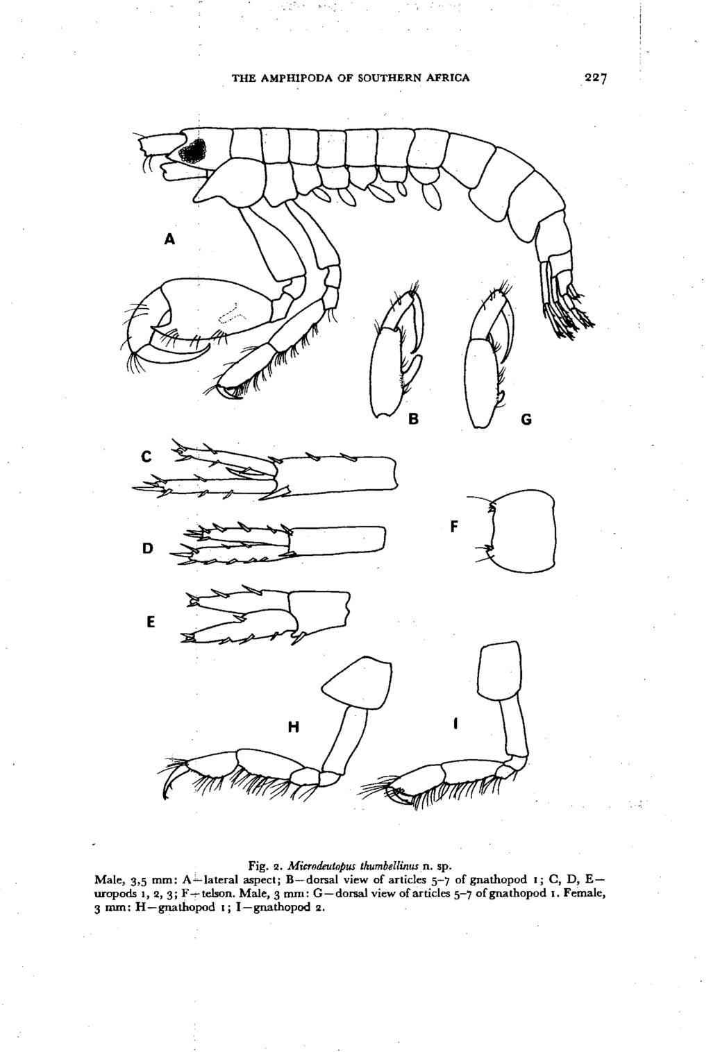 THE AMPHIPODA OF SOUTHERN AFRICA G E Fig. 2. Microdeutopus thumbell