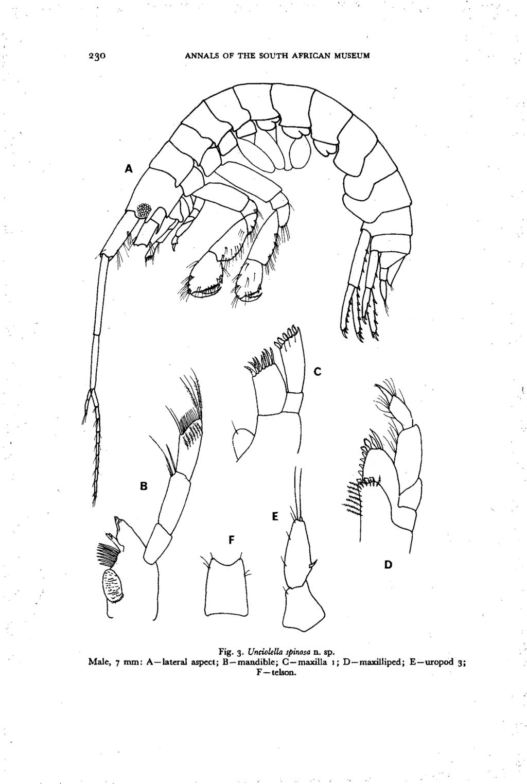ANNALS OF THE SOUTH AFRICAN MUSEUM c E F o Fig. 3. Untiolelill spi