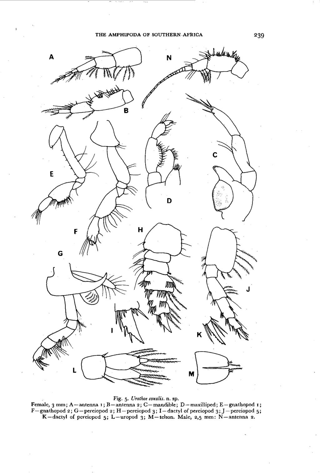 THE AMPHIPODA OF SOUTHERN AFRICA 239 Fig. 5. Urothoe coxa lis. n. sp.