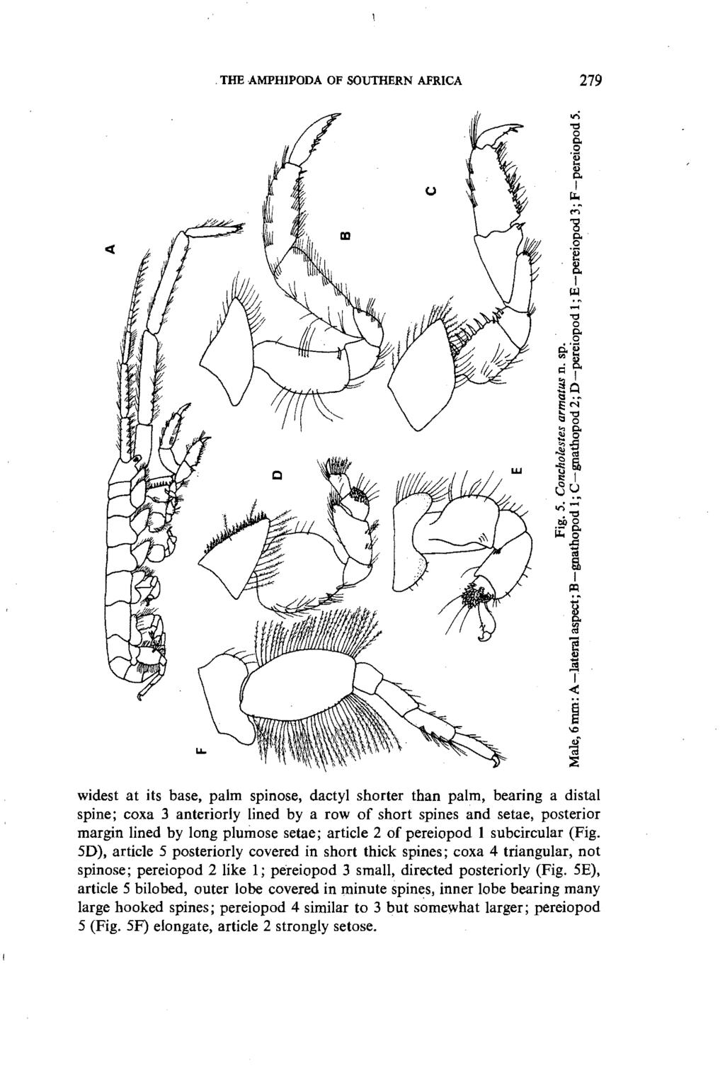THE AMPHIPODA OF SOUTHERN AFRICA 279 widest at its base, palm spinose, dactyl shorter than palm, bearing a distal spine; coxa 3 anteriorly lined by a row of short spines and setae, posterior margin