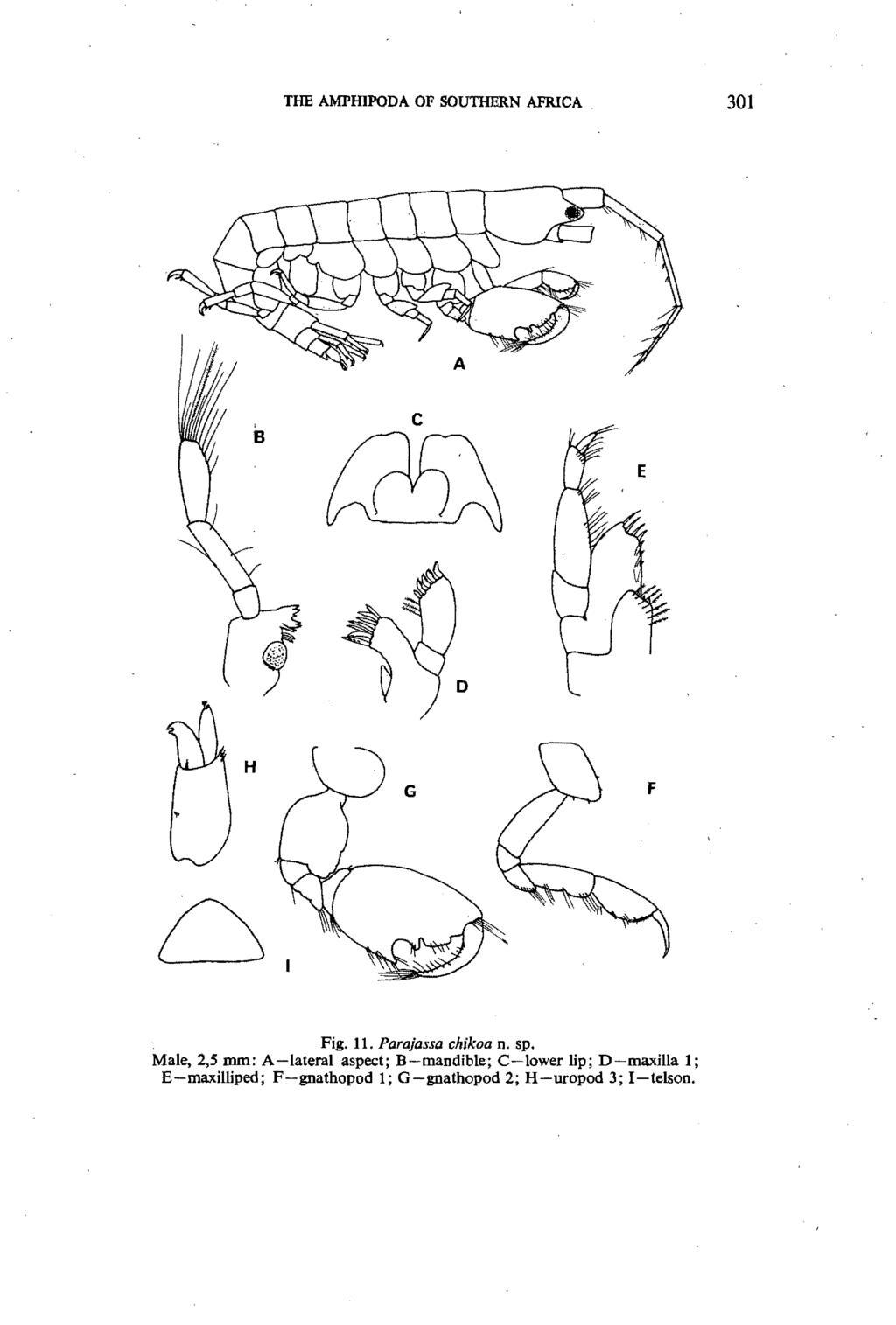 THE AMPIDPODA OF SOUTHERN AFRICA 301 c H Fig. 11. Parajassa chikoa n. sp.