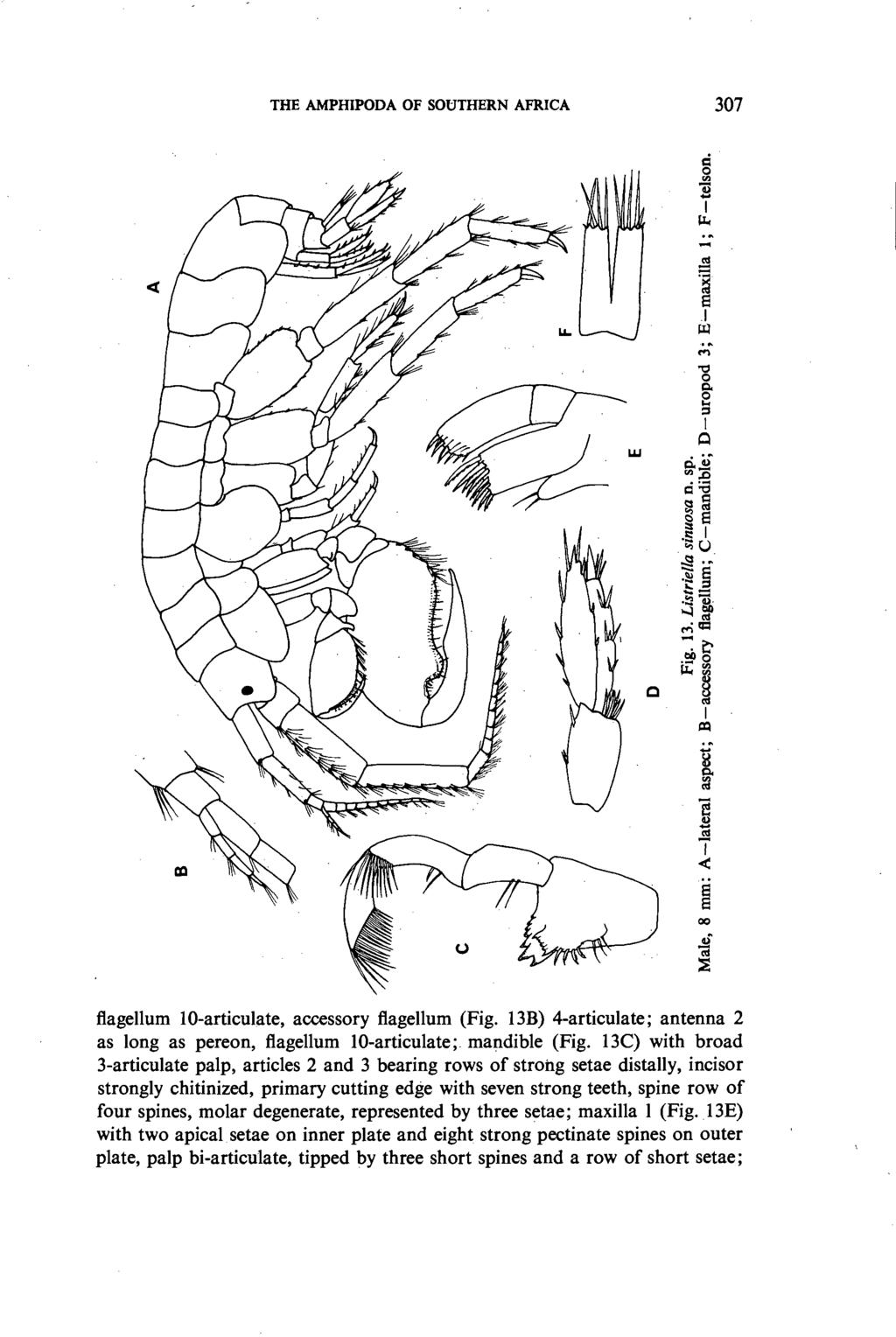 THE AMPHIPODA OF SOUTHERN AFRICA 307 ~.~ e.1 ~ 00 flagellum lo-articulate, accessory flagellum (Fig. 13B) 4-articulate; antenna 2 as long as pereon, flagellum lo-articulate; mandible (Fig.