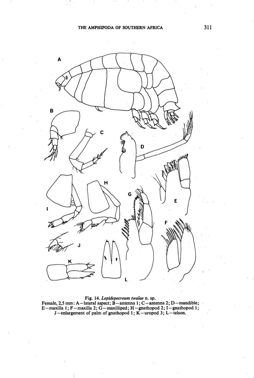 THE AMPHIPODA OF SOUTHERN AFRICA 311 Fig. 14. Lepidepecreum twalae n. sp.