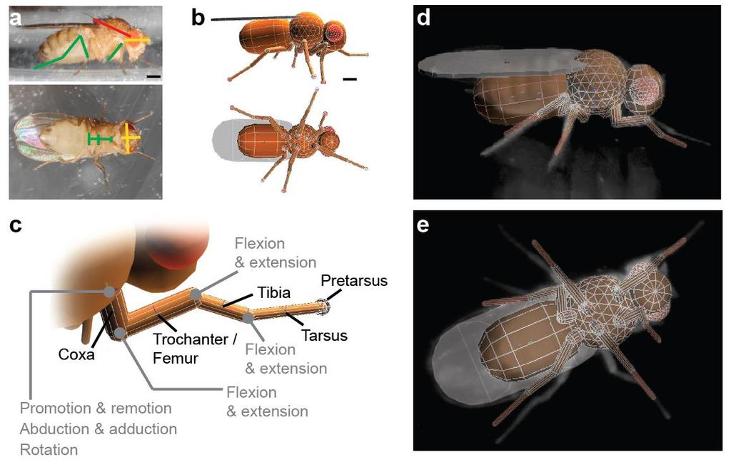 Supplementary Figure 1 An insect model based on Drosophila melanogaster. (a) Side and ventral images of adult female flies used to calculate the sizes of body and leg segments. Scale bar is 0.3 mm.