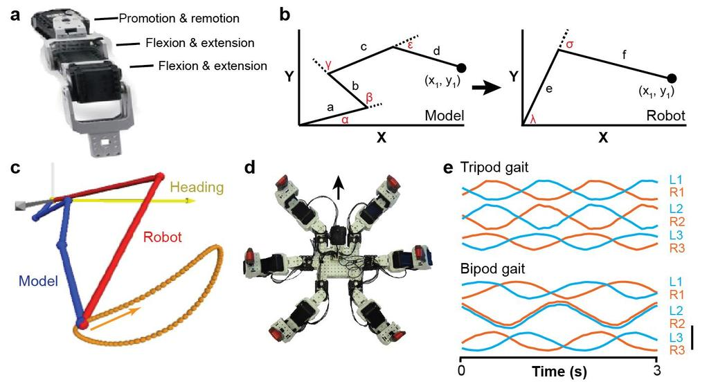 Supplementary Figure 8 Transferring bipod and tripod gaits to a hexapod robot. (a) Image of the robot s leg. Degrees of freedom for each joint are labeled in black text.