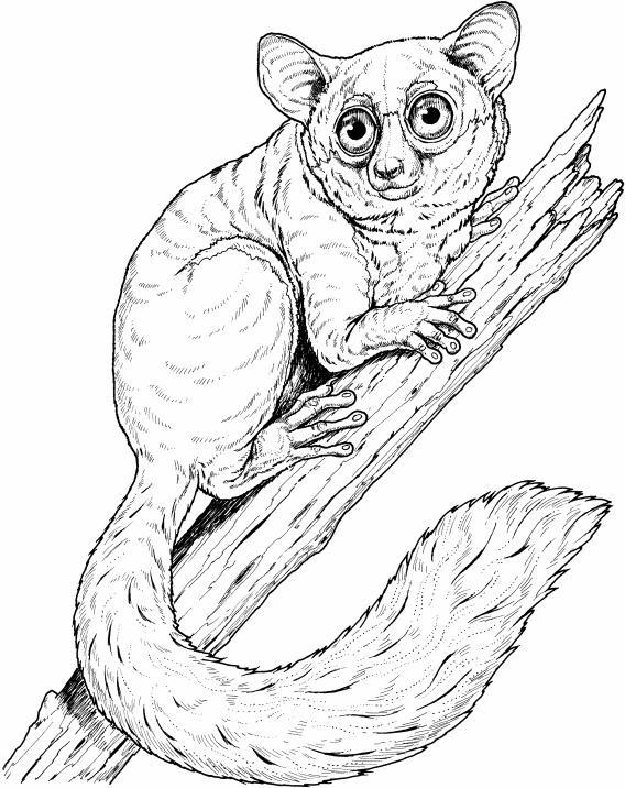 Locomotion Vertical clinging and leaping: This mode of locomotion is practiced by most Prosimians like this bush baby.
