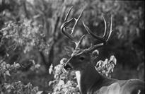 Undercount of fawns greater than undercount of adults, 1986-88 Ranch Marked Sighted Camaron 0.20 0.14 Faith 0.26 0.21 Percent Accuracy of Classing Bucks as Mature vs.