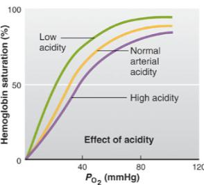 Hb Saturation Effects of ph Higher [H + ] in tissue capillary blood than in arterial blood Elevated P CO2 Metabolically produced acids such as lactic acid The more