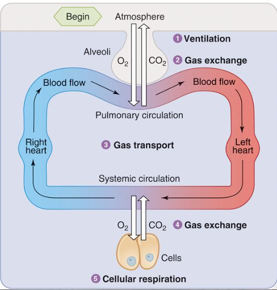 Ventilation Exchange of air between atmosphere and alveoli Atmospheric air