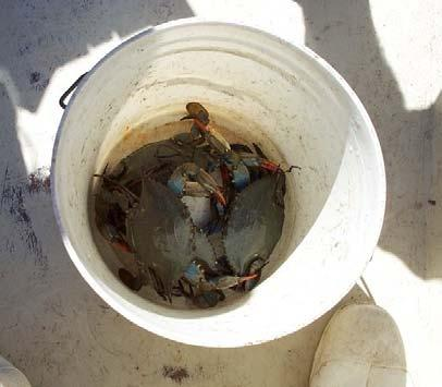 Results Catch and Harvest Recreational Catch Estimates: 4.17 million crabs caught!! 66% of catch occurred in July and August Approx.