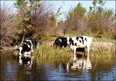5 Cattle in a river. Credit: Paul Hamilton Activity 4: Exploring the Issues Visit the web site Diving In at http://nature.ca/explore/di-ef/wcef_e.cfm and look for information about water pollution.