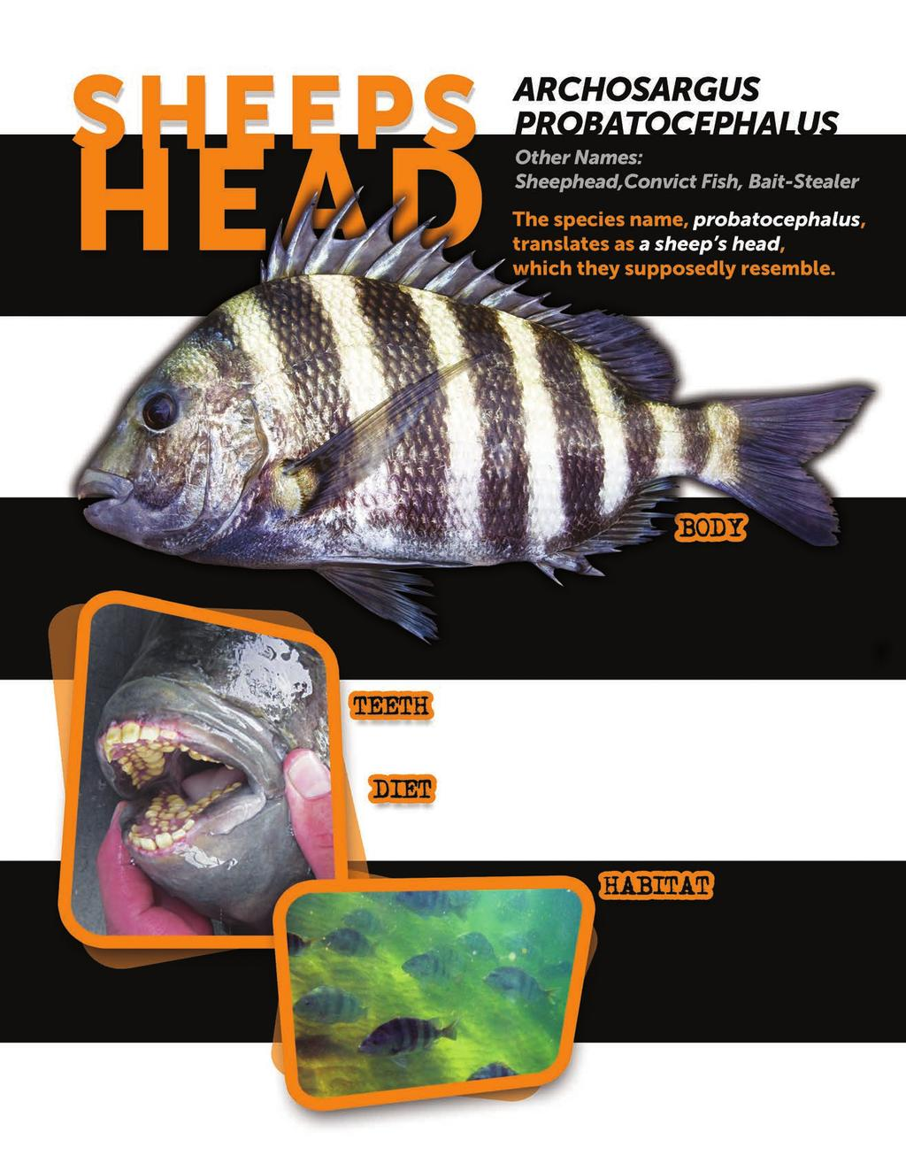 It s an easy fish to identify, with large, oval-shaped body boldly marked with 5-7 wide, grayish-black vertical stripes set on a light gray or white background.