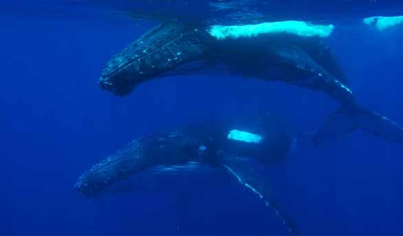 Swimming with humpback whales Only operators licensed to participate in the 2016 In-water humpback whale interaction trial are allowed to provide the opportunity to swim with humpback whales as part
