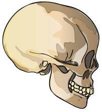 Name: Date: Human Evolution - Skull Analysis Prior Knowledge Questions (Do these BEFORE using the Gizmo.) 1. Label one of the skulls below as human and the other as a chimpanzee skull. 2.