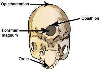 Activity A: Foramen magnum Get the Gizmo ready: Select the Homo sapiens (modern human) skull. Introduction: Skulls, even from the same species, can have a wide variety of shapes and sizes.