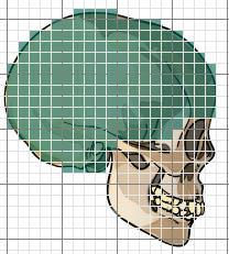 Activity B: Cranial capacity Get the Gizmo ready: Select Side view. Turn off Ruler, and turn on Click to measure area.
