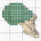 After you measure the area of each cranium, multiply the result by 5. This will give you a very rough estimate of the species cranial capacity.