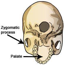 Take a look at the skull features below. Question: How do the mouths of hominids compare? 1.