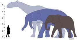 Mammals Grew 1,000 Times Larger After the Demise of the Dinosaurs The largest land mammals that ever lived, Indricotherium and Deinotherium, would have towered over the living African Elephant.