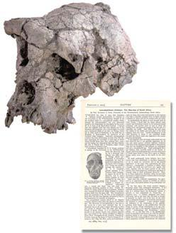 Sahelanthropus tchadensis 6-7 mya 2002 discovery of hominid from Chad with a mosaic of primitive (very small brain) and derived (small canines) features.