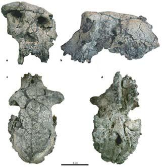tugenensis (BAR 1002'00), (C and D) Paranthropus robustus (SK 97 and SK 82, reversed), (E) A. afarensis (A.L.