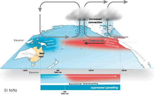 in the diagram of the disrupted Walker Circulation below. Notice that the rain is concentrated over Peru and the upwelling off the Peruvian coast is supressed.