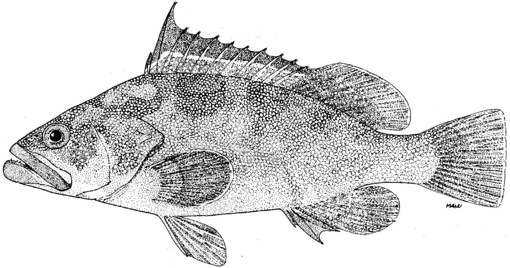 170 FAO Species Catalogue Vol. 16 FAO Names: En - Marquesan grouper; Fr - Mérou Marquises; Sp - Mero marquesano. Fig.
