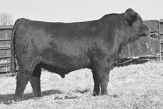 Genetic Power FALL GELBVIEH AND BALANCER BULLS JKGF B436 Sells as Lot 27. JKGF B397 Sells as Lot 28. JKGF B08 Sells as Lot 29.