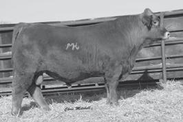 Genetic Power FALL GELBVIEH AND BALANCER BULLS 14 JEMG J BAR M B858 ET Purebred 88% Gelbvieh Bull Red Homozygous Polled 10/1/2014 JEMG B858 1316788 RID R COLLATERAL 2R JCGR BAR GT FLASHBACK 410M ET