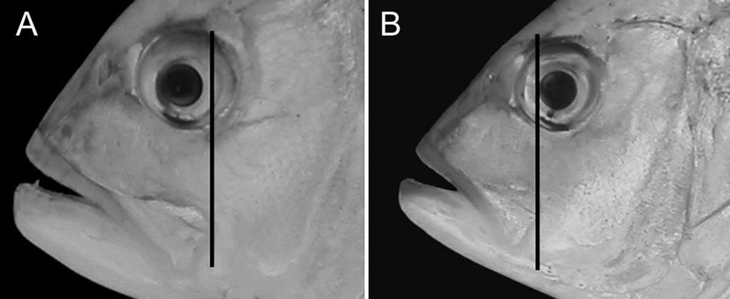 228 Hiroyuki Motomura et al. fin base; non-embedded body scales; and scutes present only on the straight portion of the lateral line (Smith-Vaniz 1999).