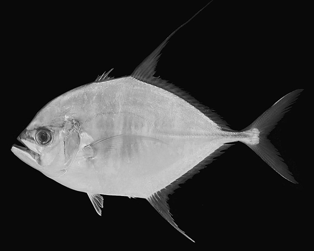 230 Hiroyuki Motomura et al. Fig. 3. Ulua mentalis (Cuvier, 1833), KAUM-I. 1120, 187.5 mm SL, Kasasa, Kagoshima, Japan. ments, as percentages of FL, are given in Table 2.