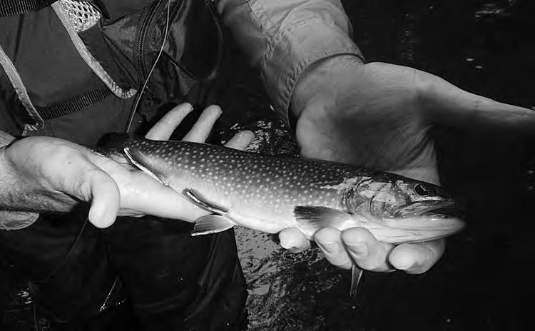 NORWALK RIVER Native brook trout are a rare and special treat on the Norwalk River section of the stream.