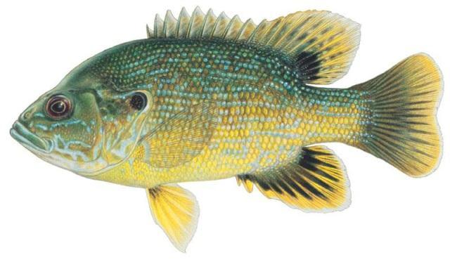 Green sunfish (Lepomis cyanellus) Found throughout the state in streams, rivers, ponds, and reservoirs. Can tolerate turbidity, low oxygen levels, and high temperatures.