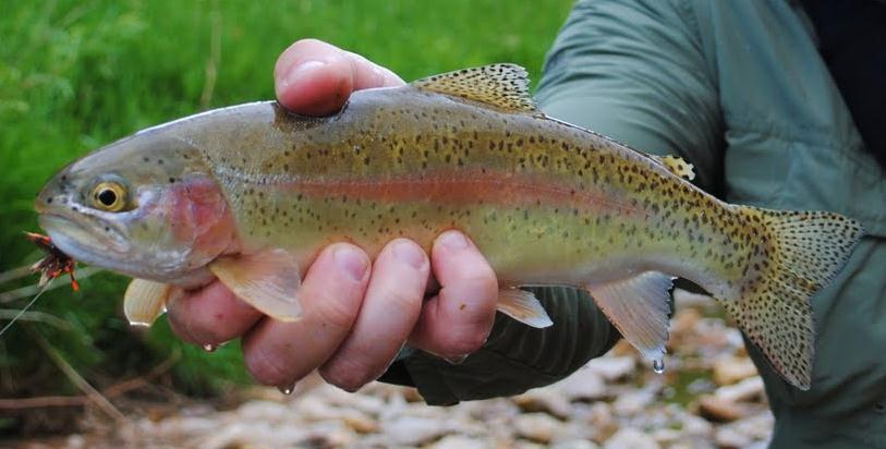 Rainbow trout Oncorhynchus mykiss Not native to Nebraska s waters Requires cold water habitat; can t survive in water temperatures over 70 degrees Requires well oxygenated