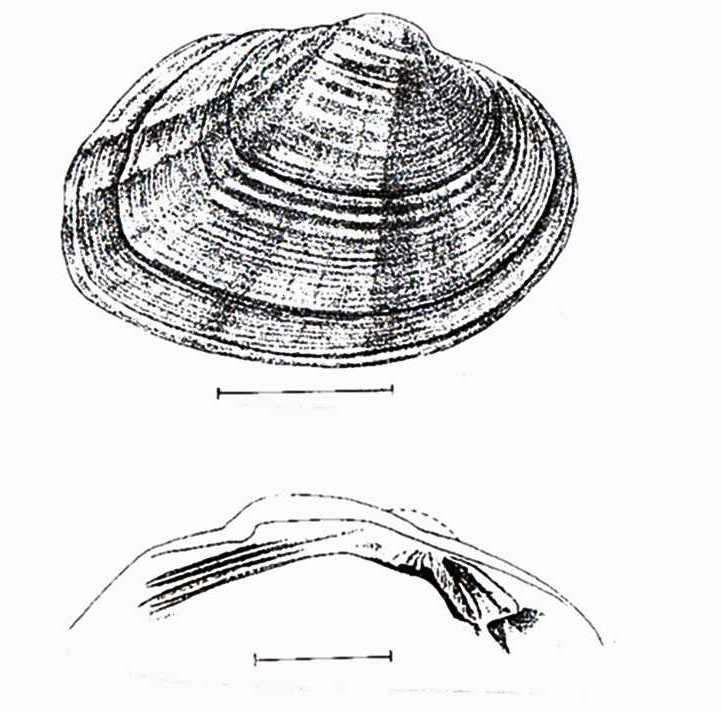 Atlantic pigtoe mussel Fusconaia masoni Concern Concern Endangered Unlisted (Note: Top drawing shows details of external shell; bottom drawing shows interior hinge area with teeth.