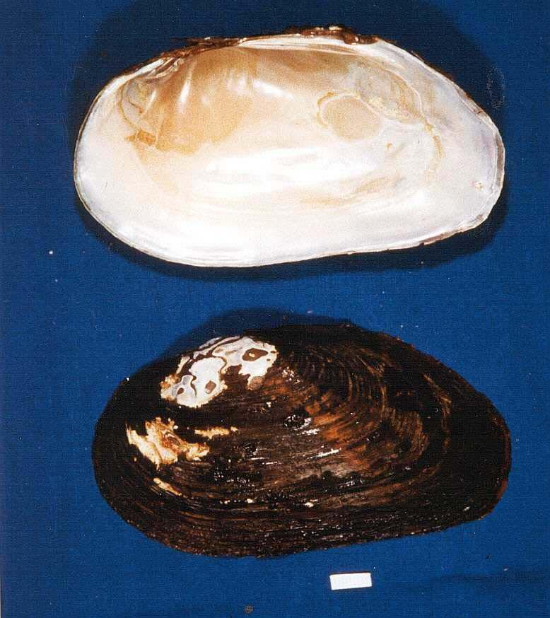 Carolina Heelsplitter Lasmigona decorata Unlisted Endangered Unlisted Endangered GENERAL DESCRIPTION: This freshwater mussel has a greenish brown to dark brown, unsculptured, oval shell which has a