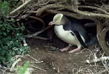Golden opportunity to evaluate conservation cost effectiveness Yellow-eyed penguin conservation program Stationary, observable species Nest