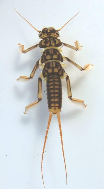 Stoneflies or Gadgers There are two different British species of Perlidae, bo th can be