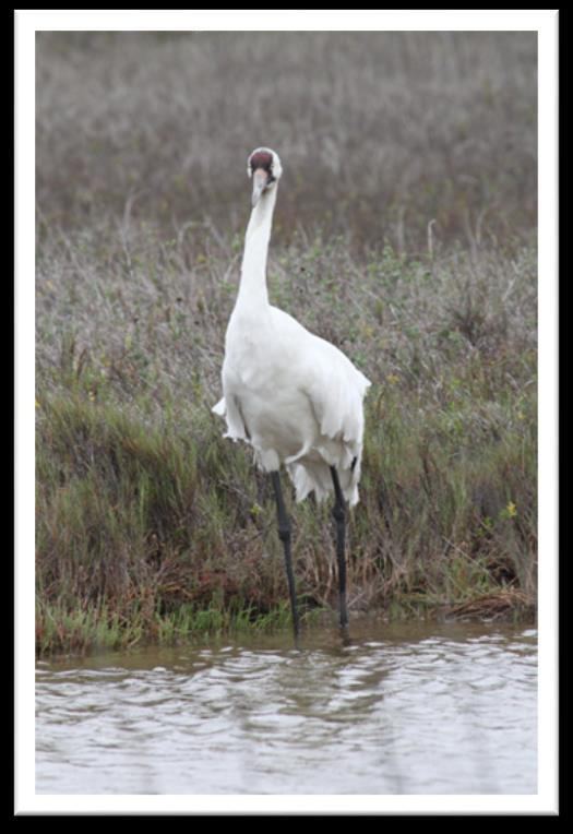Ups and Downs in an Estuary Whooping Crane Dilemma Modified from Texas Aquatic Science and Estuaries in the Balance Curriculum TEKS 6.2 E; 6.3 C; 6.12 E; 7.2 E; 7.3 C; 7.5 A; 7.8 A; 7.13 A; 8.2 E; 8.
