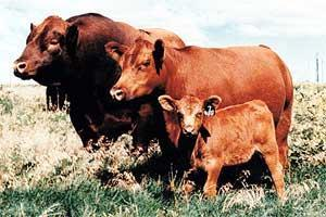 Choice of Breeds Red Angus,