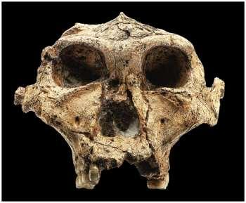 7. Australopithecus robustus (AKA Paranthropus robustus) 2 mya South Africa Descendent from A. africanus?