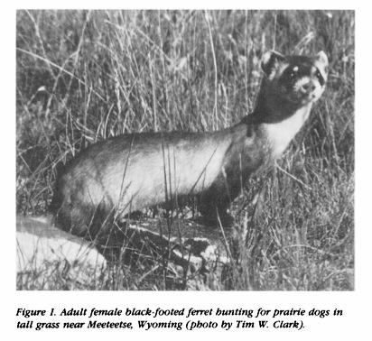 WFB 074 Lecture 5 BF-Ferret Recovery Plan Black-footed Ferret Decline 1920 - estimated 500,000 ferrets 1964-1974 Colony of 90 different ferrets seen & studied incl.