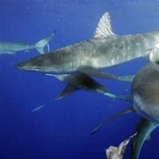 3 Sharks swimming about five kilometers from Hawaii Last month, the governor of California, Jerry Brown, signed a bill that bans the sale or possession of shark fins in the state.