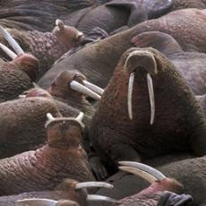 5 In recent years, the record low sea ice levels forced walruses to seek food and rest along the northwest coast of Alaska. But scientists fear there may not be enough food so close to the coast.