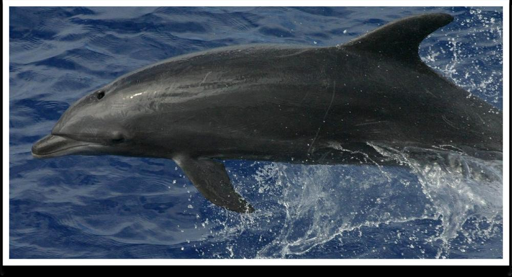 Pelagic Bottlenose Dolphins The highest numbers estimated for a particular species are for the bottlenose dolphin, as noted above, and in its case the PEIS estimated potential for Level A takings of