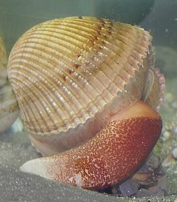 Giant Atlan)c Cockle Can live in shallow water up to 30 meters (100 feet) deep. Have a muscular foot to burrow into sand.