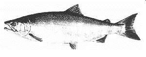 ALASKA DEPARTMENT OF FISH AND GAME DIVISION OF COMMERCIAL FISHERIES NEWS RELEASE Cora Campbell, Commssoner Jeff Regnart, Drector Contact: Cordova ADF&G Steve Mofftt, PWS Fnfsh Research Bologst 401
