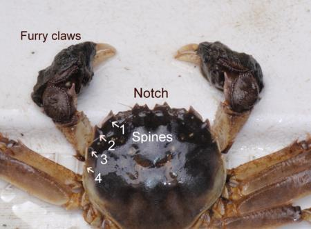 A Chinese mitten crab out of water. Photo credit: newenglandboating.
