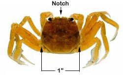 Juvenile (Figure 4. An identification guide of a juvenile Chinese mitten crab. The carapace alone can be about the size of a quarter.