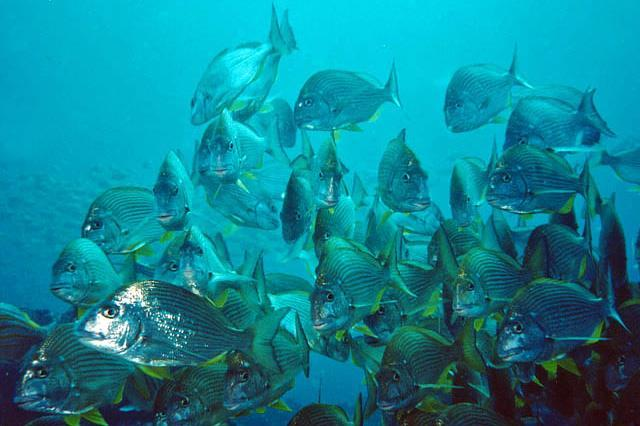 greek: golden head Also called sea-breams Sparidae - Porgies Most species have grinding molar-like teeth Some are